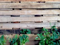 Green plant on old wood wall Royalty Free Stock Photography