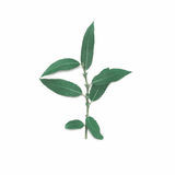 Green plant part branch willow leafs stem isolated on a white background Stock Photography
