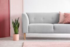 Pastel pink pot next to grey comfortable sofa with pillows in minimal scandinavian living room, real photo. Green plant in pastel pink pot next to grey royalty free stock photo
