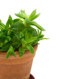 Green plant in the pot #1. Little green plant in the ceramic pot isolated Royalty Free Stock Photography