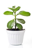 Green plant in a pot Royalty Free Stock Image