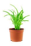 Green plant in a pot. A green grass plant in a pot with white background Royalty Free Stock Photography