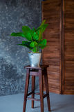 Green plant in pot decorating a room with loft wooden interior. Green plant in pot decorating a room with loft wooden interior and big window Stock Image