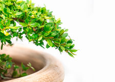 Green plant in the pot isolated Stock Photography
