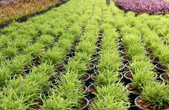 Green plant in a pot nursery Stock Images