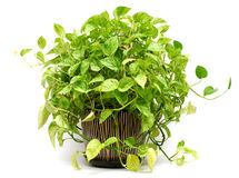 green plant in Pottery vase Royalty Free Stock Photo