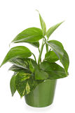 Green plant in Pottery vase. pothos, epipremnum. Green plant in Pottery vase. Young  pothos, epipremnum Royalty Free Stock Photography