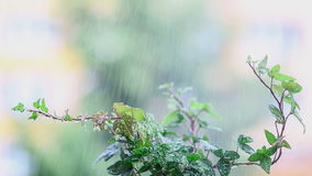 Green plant in the rain. Water drops on the fresh leaves. stock video footage