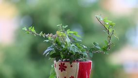 Green plant in the rain. Water drops on the fresh leaves. Red planter. stock video footage