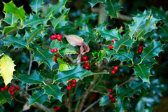 Green plant with red berries Stock Image