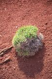 Green plant on red earth Royalty Free Stock Photos