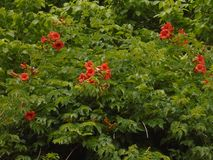 Green plant with red flowers stock image