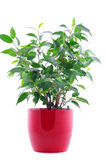 Green plant in red pot isolated on white. Background Stock Images