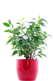 Green plant in red pot isolated on white Royalty Free Stock Images