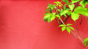 Green plant on red wall Royalty Free Stock Image
