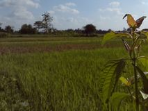 Green plant and rice field photo. Background Royalty Free Stock Photos