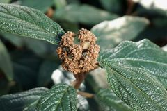 Green plant with ripe brown seeds ready for reproduction. Mature green plant with ripe brown seeds ready for reproduction with leaves full of dust stock photos