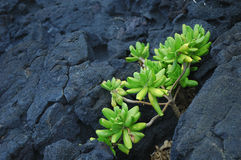 Green plant on rock. Green plant growing on volcanic rock , Big Island, Hawaii Stock Images