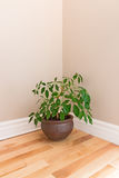 Green plant in a room corner. Green plant in a clay pot decorating the corner of an empty room royalty free stock photos