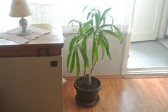 Green plant in a room. A shot of a green plant in the living room of an apartment royalty free stock images