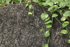 Green plant Scindapsus on grey stone. Curly plant Scindapsus on grey stone Stock Images