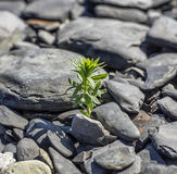 Green plant among sea stones Stock Photography
