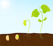 Green plant seedling. Vector background Stock Photography