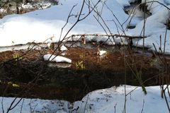 Green plant shoots in a partially frozen pond. On a sunny day Royalty Free Stock Image