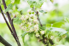 Green plant with small white flowers Stock Photo