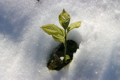 Green Plant from Snow Royalty Free Stock Image