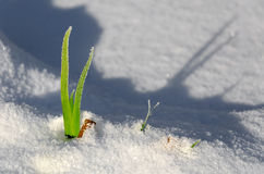 Green plant in snow Stock Photo