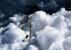 Green plant in the snow. A delicate green plant breaking through the snow in La Cumbrecita Argentina royalty free stock photography