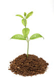 Green plant in soil Stock Image