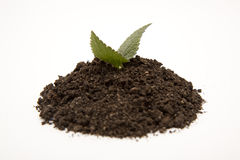 Green plant in soil. Isolated green plant growing in black soil Stock Image