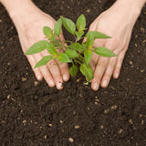 Green plant and soil Royalty Free Stock Photography