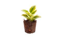 Green plant in soil  on white Stock Photos