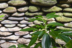 Green Plant and Stacked Stones Royalty Free Stock Photo
