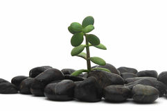 Green plant and stones Royalty Free Stock Photography