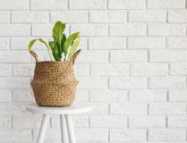 Green plant in a straw basket on the white brick wall background. Minimalist interior stock photo