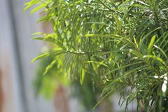 A green plant during a summer season. A green plant during summer characterized by green vivid color in a plantation. The plant is also characterized by many stock photo