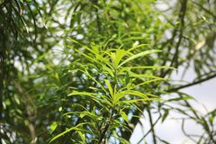 A green plant during a summer season. A green plant during summer characterized by green vivid color in a plantation. The plant is also characterized by many royalty free stock photos