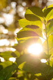 Green plant with sun peaking through leaves Stock Images