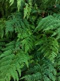 Green plant texture. Fern leaves in woods Stock Images