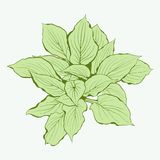 Green Plant. Vector illustrations. Stock Photography