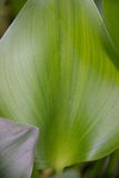 Green plant. With vein stripes Stock Photography