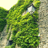 Green plant vine full of leaves on a rock wall Stock Photos