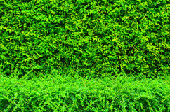 Green plant wall Royalty Free Stock Image