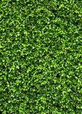 Green plant on the wall Stock Photos