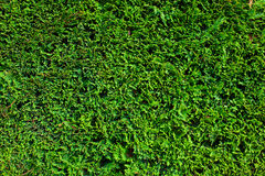 Green plant wall Stock Images