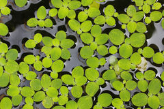 Green plant on the water. Small green plant on the water stock image